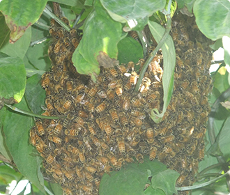 主にミツバチ