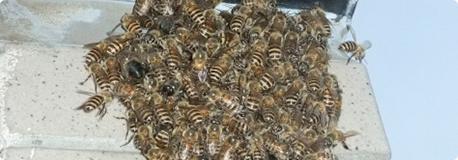 ミツバチ駆除(巣)