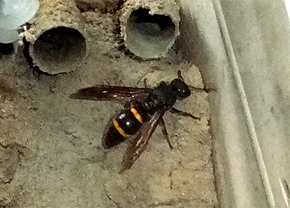その他の蜂